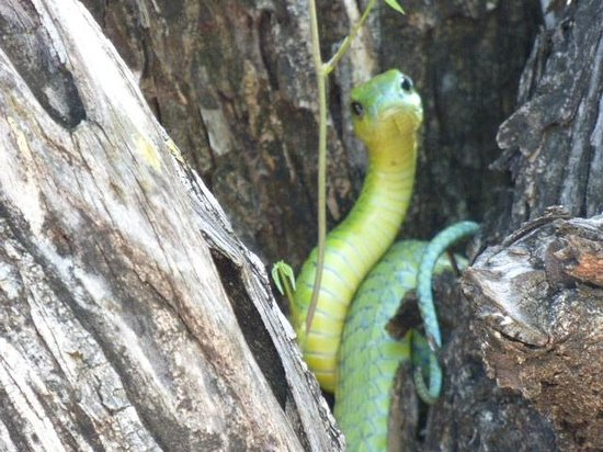 Kapamba Bushcamp - The Bushcamp Company: boom slang snake