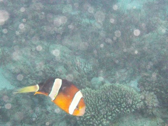 Swengland Dive Resort : nemo the clown