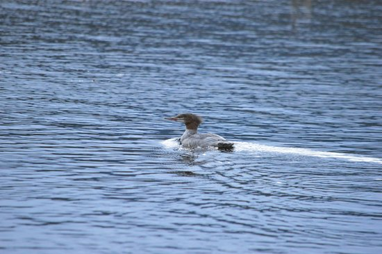 Historic Tamarack Lodge: merganser on beaver pond