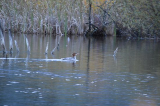Historic Tamarack Lodge : merganser on beaver pond