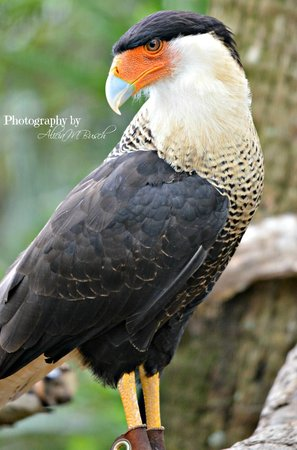 Brevard Zoo : Birds of Prey