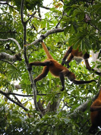 A Spider Monkey Swings Through The Trees Picture Of