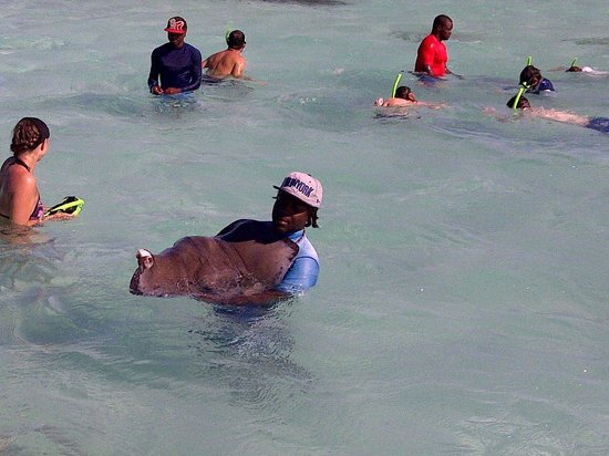 Professional staff handling stingray - Picture of Stingray ...