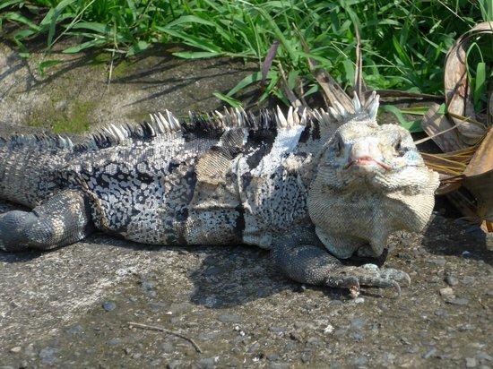 Lizard at the entrance to Carara National Park