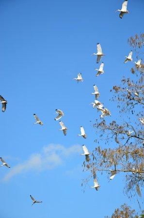 Okefenokee Adventures: flock of waterbirds