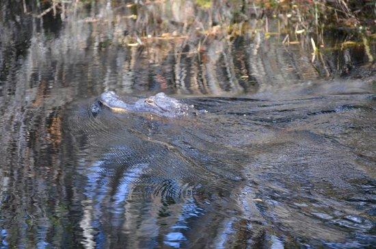 Okefenokee Adventures: Lots of gators.