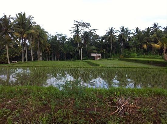 Villa Agung Khalia: take a memorwble walk through the rice fields adjoining the villas with Agung