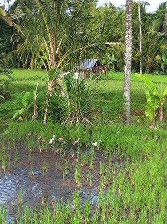 Villa Agung Khalia: scenes in the ricefields in fron of our villas
