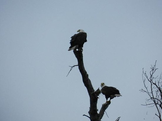 Lake Kissimmee State Park : Bald Eagles resting from up high