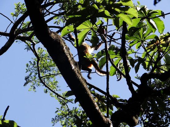 Hacienda Guachipelin: monkey
