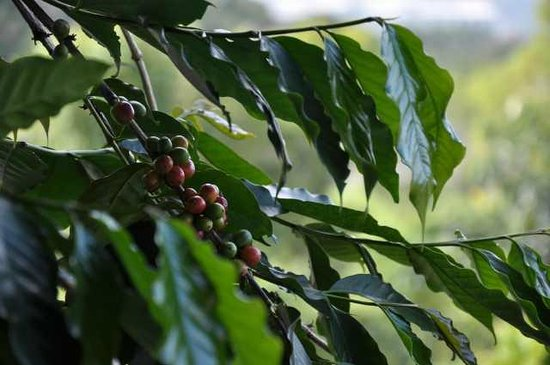 Hale Hualalai Bed and Breakfast: Coffee Beans