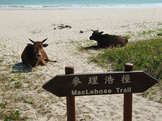 MacLehose Trail : Cows along the trail
