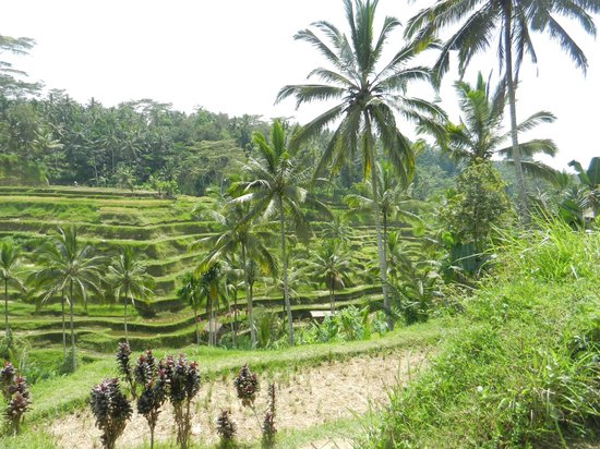 Tegalalang Rice Terrace: Tegallalang Rice Terrace