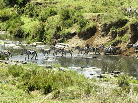 Rekero Camp, Asilia Africa: Zebra crossing