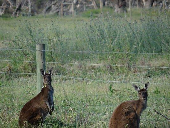 Inn the Tuarts Guest Lodge Busselton: Kangaroo's nearby