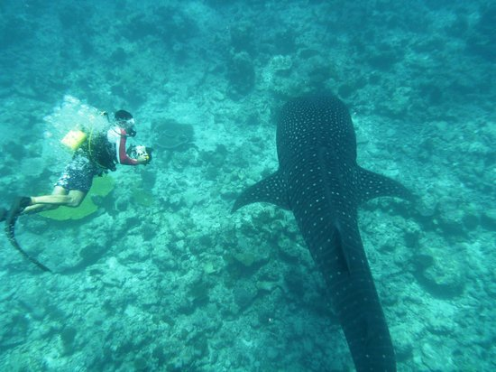 LUX* South Ari Atoll: Whale shark