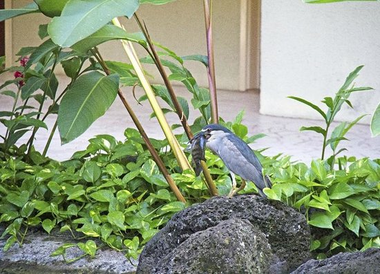 Sheraton Kauai Resort: Wildlife on Sheraton grounds