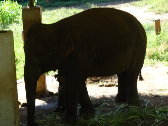 Anantara Golden Triangle Elephant Camp & Resort: Elephants!