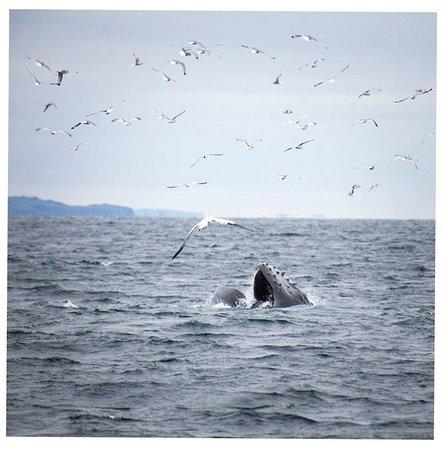 The Stone House B&B: Lunge feeding whale