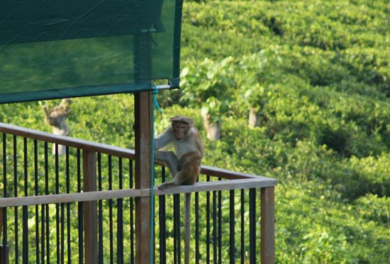 Madulkelle Tea and Eco Lodge: Watch out for the Macaques!