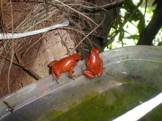 Cabinas Iguana: Ranas rojas