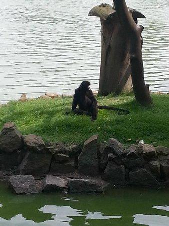 Sao Paulo Zoo: Macaco aranha