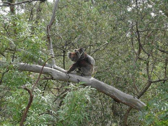 Bums On Seats Day Tours: Baby and Mother Koala we spotted