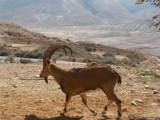 Ein Avdat National Park: Ibex family