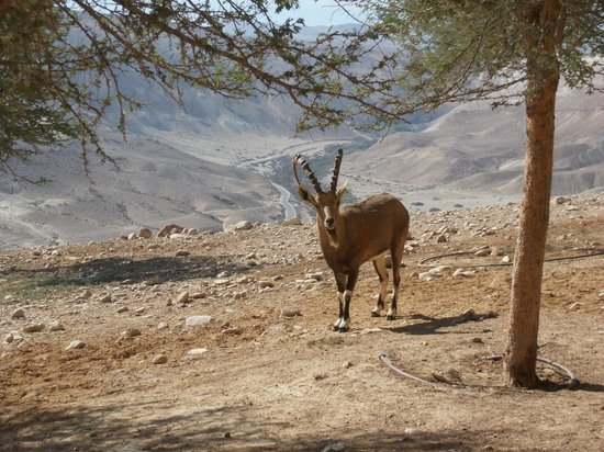Ein Avdat National Park: Encounters with ibexes are not rare