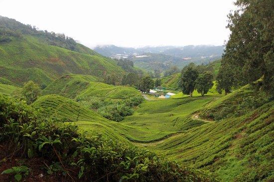 The Lakehouse, Cameron Highlands: Tea Plantation Scenery, Cameron Highlands
