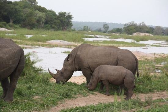 Lion Sands River Lodge : Beautiful White Rhino with her calf