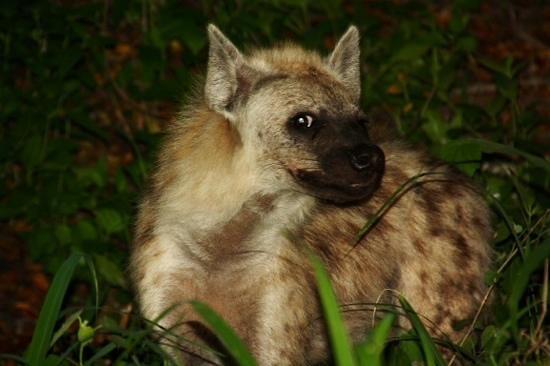 Lion Sands River Lodge : cheeky hyena