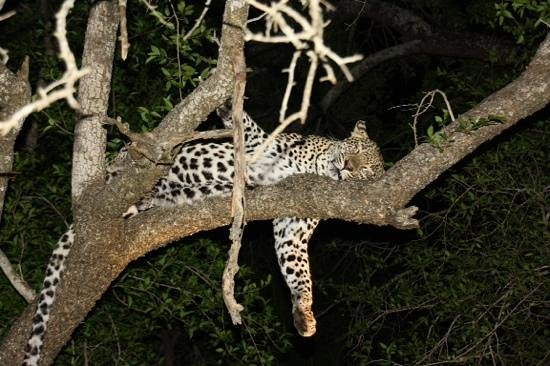 Lion Sands River Lodge: Beautiful sighting of female Leopard on our first night drive