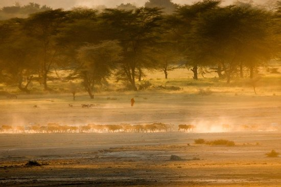 Manyara Wildlife Safari Camp : Les Massai rentrent leurs troupeaux au coucher de soleil / Massai cattle at sunset
