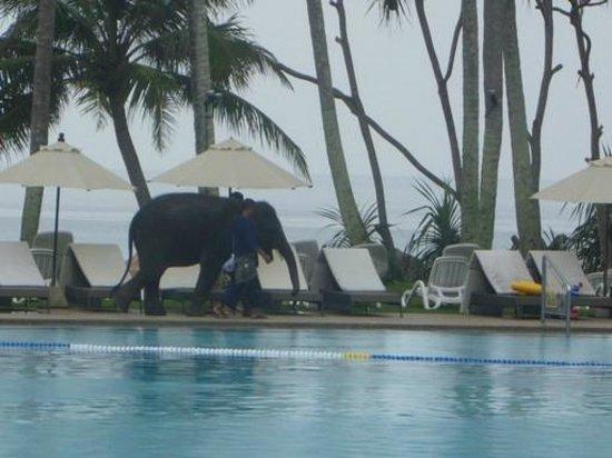 Le Meridien Phuket Beach Resort : Baby elephant valentine visits twice everyday
