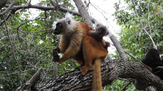 Eden Lodge: Lemurs