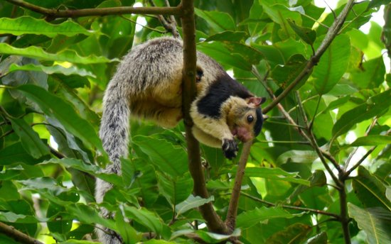Ashburnham Estate : Giant Squirrel