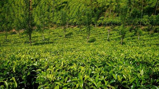 Ashburnham Estate : Tea