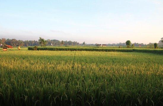 Bali Harmony Villas: Rice Paddies in November...view from Villa Asmara!