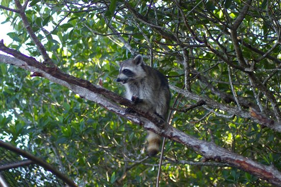 Everglades City Airboat Tours: Friendly little Raccoon waiting for treats