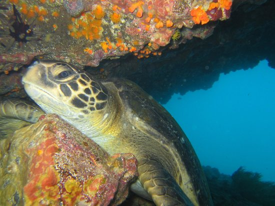 Scuba Iguana: Green Sea Trtle