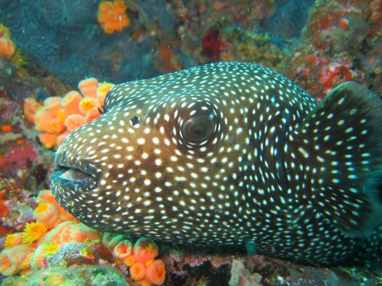 Scuba Iguana: Female Pacific Boxfish