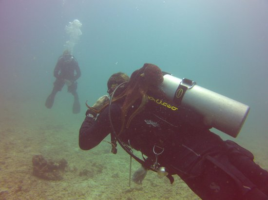 Kaimana Divers: Jarrod and an octopus getting to know each other.