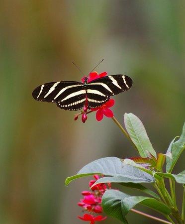 Kona Kai Motel: Zebra Longwinged Swallow Butterfly by our Patio