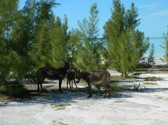 South Caicos: Wild Donkeys