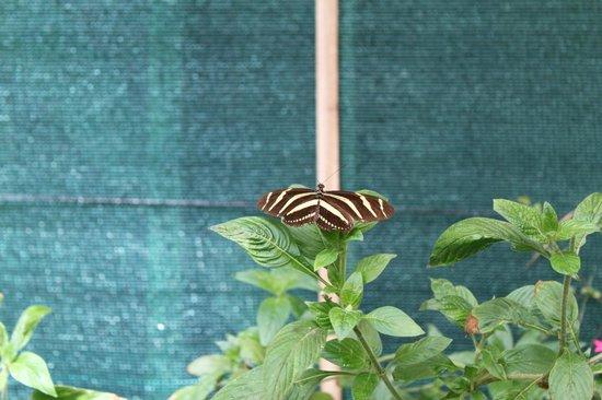 Monteverde Butterfly Garden (Jardin de Mariposas): @ The Butterfly garden