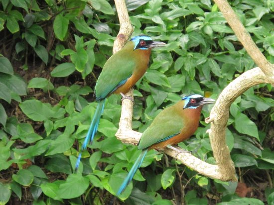 Manta Lodge: Motmot - a bird so nice they named it twice!