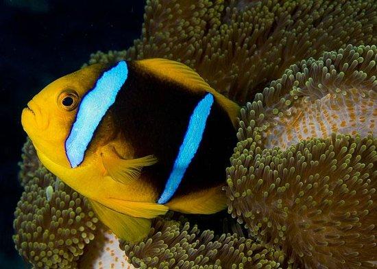 Taveuni Ocean Sports: Oramge Fin Anemonefish