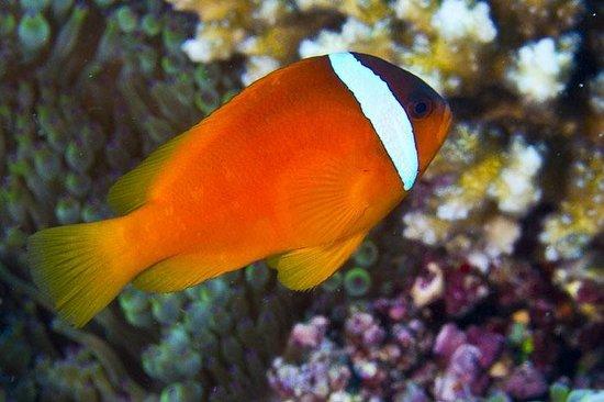 Taveuni Ocean Sports: Fiji Anemonefish