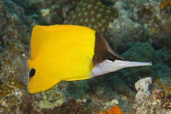 Taveuni Ocean Sports: Longnose Butterflyfish